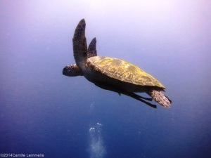 Plenty of turtles during the PADI Divemaster course